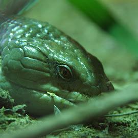 Watching you! by Danijela Danći - Animals Reptiles ( green, reptile, eye, animal )