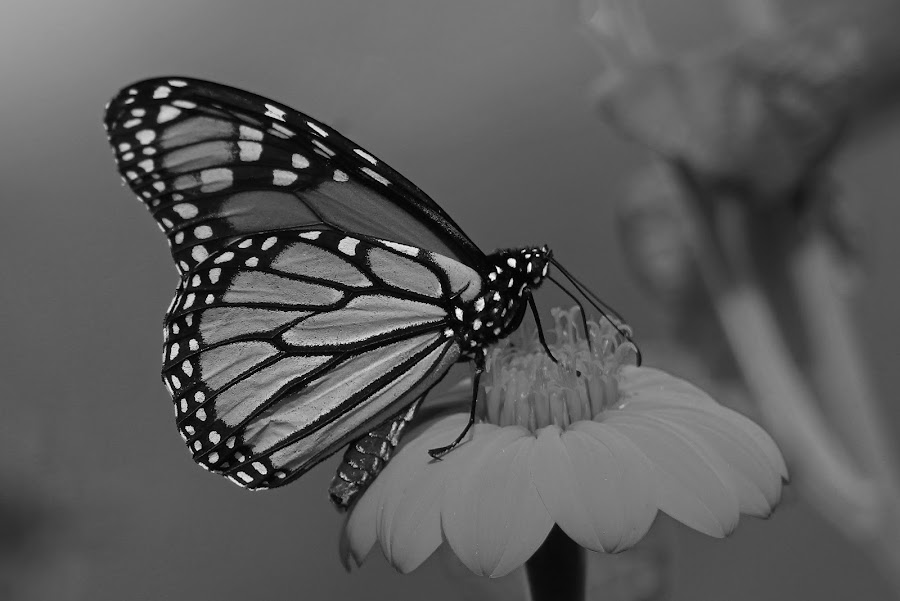 Monarch in b &w by Anthony Goldman - Black & White Animals ( butterfly, insect, b & w lake wales, monarch,  )