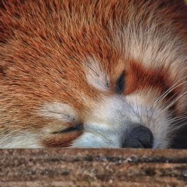 by Kelly Murdoch - Animals Other Mammals