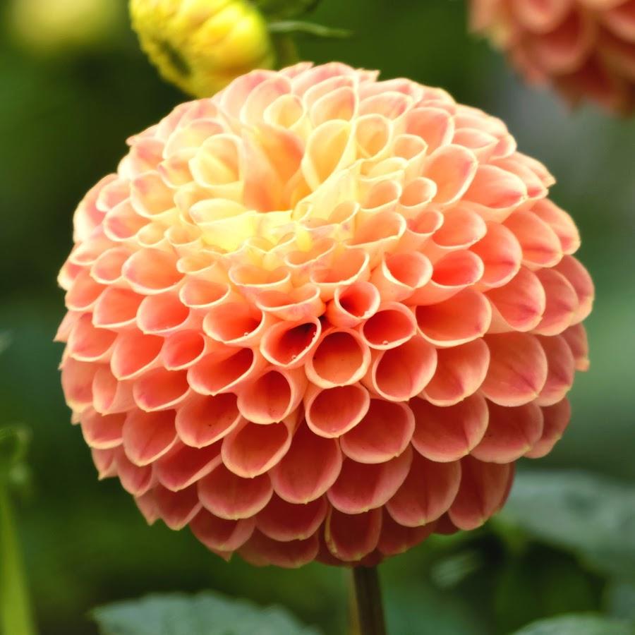 Dahlia 9949 by Raphael RaCcoon - Flowers Single Flower