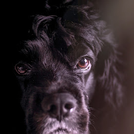 Eli by Dana Walker - Animals - Dogs Portraits ( cocker spaniel, pet, family pet, dog, portrait )