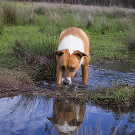 TAKE A DRINK by Kathryn Bisley - Animals - Dogs Portraits ( animals, dogs, dogs playing, nature up close, dog portrait, nature close up )