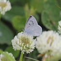 Boisduval's Blue on white clover