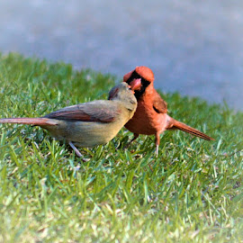 The Kiss by Teresa Wooles - Animals Birds ( red, birds, cardinals )