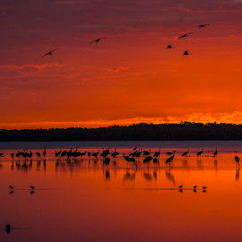 Sandhill cranes arrive to roost by Joe Saladino - Landscapes Waterscapes ( water, roosting birds, sunset, birds, sandhill cranes )