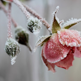 ice rose by Anny  An - Flowers Single Flower ( beautiful flower · rose · winter flower · ice · )