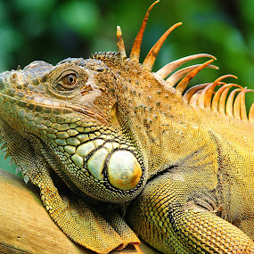My friend the iguana by Gérard CHATENET - Animals Reptiles