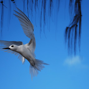 White Pacific Bird by Karen Santilli - Animals Birds ( bird, flight, blue sky, pacific, foul, sparrow )