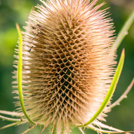 Teasel Comb by Darrell Evans - Nature Up Close Other plants ( plant, spikes, autumnal, flora, teazel, thorn, teasel, leaves, comb, dipsacus, dried, prickly, stalk, caprifoliaceae, head )