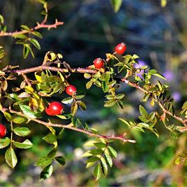 Rosebud - Velebit by Charlie Stone - Nature Up Close Other plants ( rosebud, lopci, senj, infusion, velebit, gromile, jurjevo )
