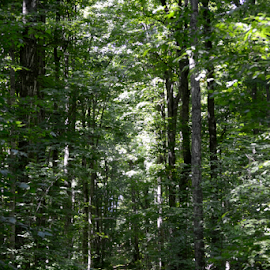 Summer Old State Rd by Tina Tippett - Landscapes Forests ( forests, trees, landscapes,  )