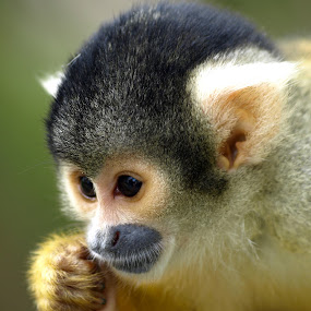 by Steen Hovmand Lassen - Animals Other Mammals ( hand, ears, squirrel, monkey, portrait, eyes )
