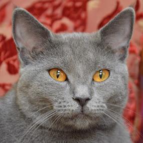 Joconde de Ventadour by Isabelle Ebens - Animals - Cats Portraits ( cat, chartreux, amber, joconde,  )