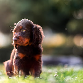 Little beauty by Luca Foscili - Animals - Dogs Puppies ( face, animals, dogs, mane, furry, beautiful, beauty, bokeh, mammal, eyes, nature, pet, outdoors, pets, dog, animal )