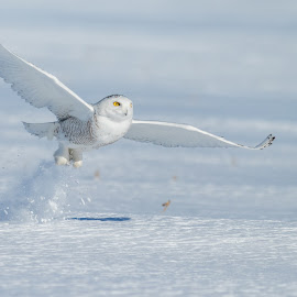 by Jocelyn Rastel-Lafond - Animals Birds ( bird, harfang des neige, winter bird, winter, owl, wildlife, harfang, snowy owl, animal )