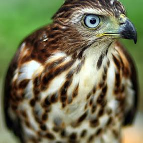 Hawk 1 by Dimas N - Animals Birds