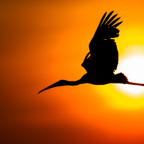 Stork Silhouette by Brendon Cremer - Animals Birds ( flying, stork, sunset, slihouette, sunrise, sun, yellow billed )