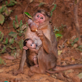 Monkey Loves Ice Candy by Chirag Mer - Animals Other Mammals