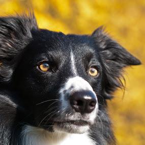Sem by Karen Havenaar - Animals - Dogs Portraits ( bordercollie, dog )