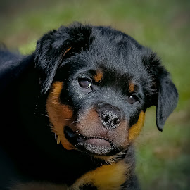 Tuff Guy by Sue Delia - Animals - Dogs Portraits ( puppy, tuff, dog, puppy rottweiler, rottweiler,  )