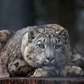 Snowy Leopard by Michael Schwartz - Animals Other Mammals (  )
