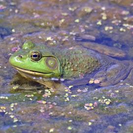 Bull Frog by Jaliya Rasaputra - Animals Amphibians