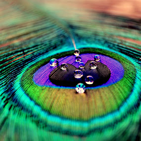 beauty drops! by Siddhartha Chitranshi - Abstract Patterns ( water, pecock, drop, feather, closeup )