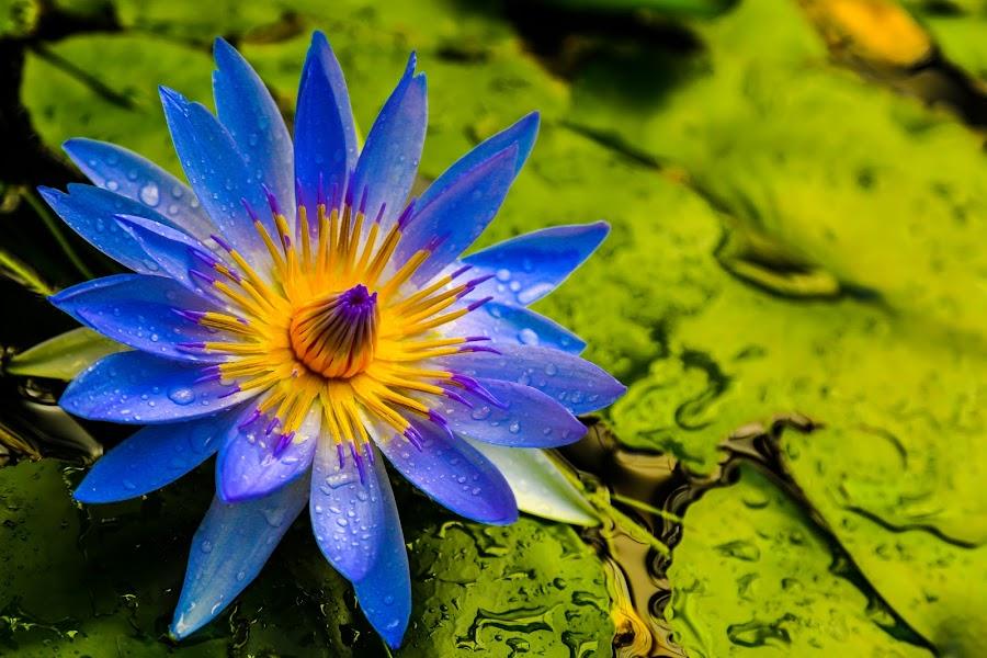 Blue Egyptian Lotus by Krishna Murukutla - Flowers Single Flower ( nature, closeup, portrait, flower, blue egyptian lotus,  )