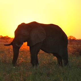 Elephant in sunset, Okavango Delta, Botswana by Isabelle Ebens - Animals Other Mammals ( okavango, botswana, sunset, elephant, safari )