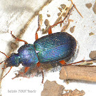 Chlaenius Ground Beetle