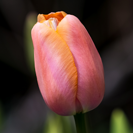Orange and Pink Tulip by Keith Sutherland - Flowers Single Flower