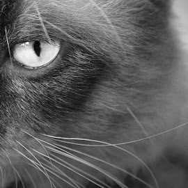 One eye by Ubaidillah Elmuddin - Animals - Cats Portraits ( cat, bw, animal, eye )