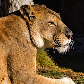 Lioness by Dave Lipchen - Animals Lions, Tigers & Big Cats ( lioness )