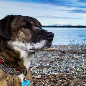 Harley by Brian Stout - Animals - Dogs Portraits ( harley, washington, retriever, boxer, brindle, beach, labrador, dog, lab, birch bay )