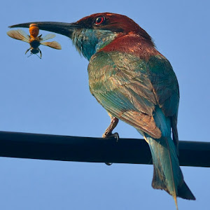 Jul 31 bee eater with bee.jpg