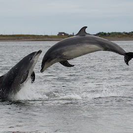Dolphins Playing by Charlie Davidson - Animals Other Mammals ( mammals, dolphin, scotland, animals, dolphins, sea )