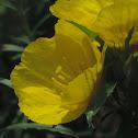Square Bed Primrose, Sundrops, Texas Primrose, Berlandier's Sundrop