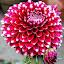 dhelia by Mohsin Raza - Flowers Single Flower (  )