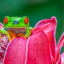 Big red eyes. by Cesar Sequeira - Animals Amphibians