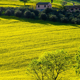 Hills of Canola Flowers by Emanuele Zallocco - Landscapes Prairies, Meadows & Fields ( hills, canola, yellow )
