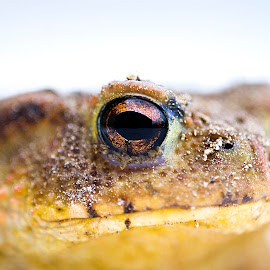 Bufo by Alessandro Calzolaro - Animals Amphibians ( nature, bufo, amphibian, toad, close up, animal )