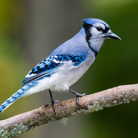 Blue Jay by Carl Albro - Animals Birds ( bird, crows_magpies_jays, blue jay )