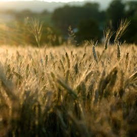 Wheat on the sun by Iztok Urh - Nature Up Close Other plants