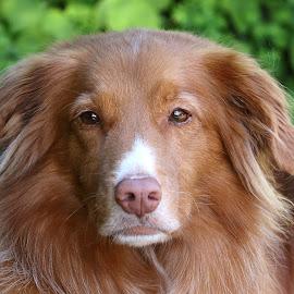 Darcy by Raphael RaCcoon - Animals - Dogs Portraits ( doggie, doggy, dog portrait, handsome, dog )