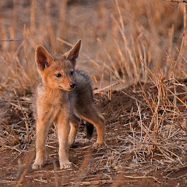 Jackal Pup by Eleanor Spies - Animals Other Mammals ( predator, pup, africa, jackal )