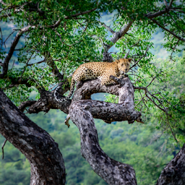 Leopard in a Tree by Craig Powell - Animals Lions, Tigers & Big Cats ( big cat, wild animal, wild, kruger national park, nature, animals in the wild, south africa, wildlife, big 5, kruger, natural world, leopard,  )