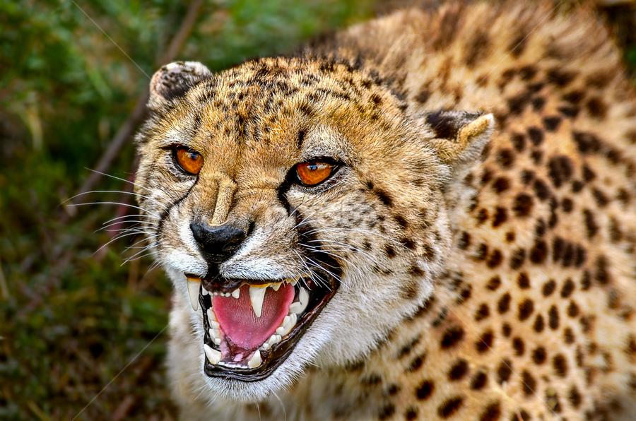 Cheetah Fury by Mauritz Janeke - Animals Lions, Tigers & Big Cats ( big cat, predator, cheetah, animals, mauritz, not a kitten,  )