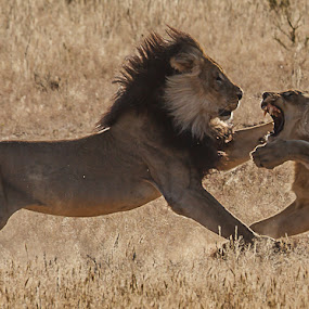 Lion fight by Tobie Oosthuizen - Animals Lions, Tigers & Big Cats