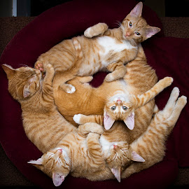 Gingers Nap by Eric Christensen - Animals - Cats Kittens ( orange, five, ginger, circle, dittens )