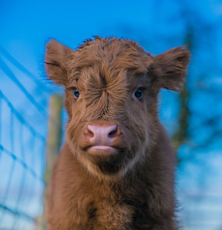 Highland Calf by Nigel Bishton - Animals Other